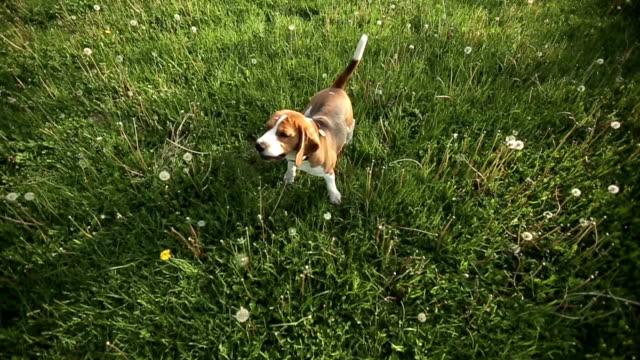 Pedigree dog Beagle barks and runs at sunset. Slow motion video