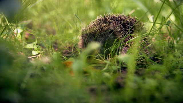 Peeping for cute hedgehog in green grass video