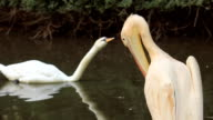 Pelican and swan on the river video