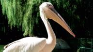 pelican close-up, wildbird with long beak sitting still near lakeside, pelicans in conservancy area video