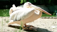 pelican near lakeside, close-up of wildbird with long beak sitting still, pelicans in reserve video