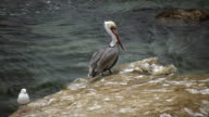 Pelican on Rock (HD) video
