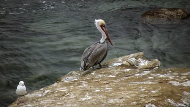 Pelican on Rock (HD) video