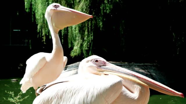 pelican sitting near pond, side view of huge light beige wildbird with long beak, bird opening beak video