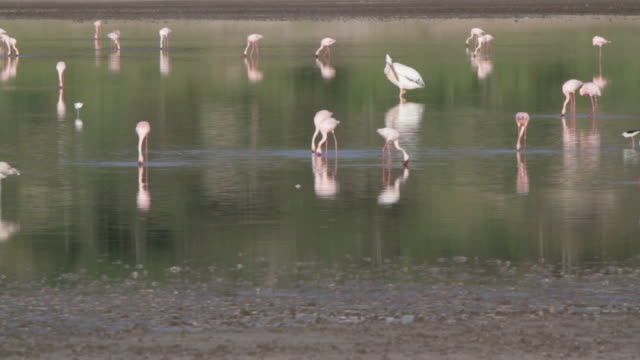 pelican  surrounded by flamingos video