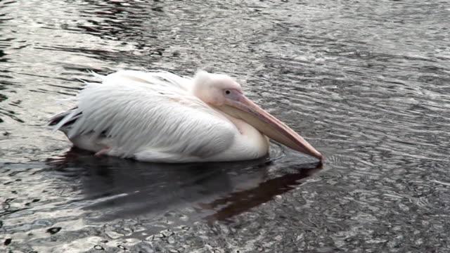 Pelican swimming video