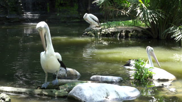 Pelicans are a genus of large water birds that makes up the family Pelecanidae video