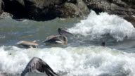 Pelicans Fighting the Waves video