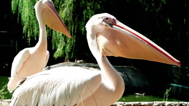 pelicans gular sac, detailed side view of light beige wildbird, close-up of huge light pink pelican video