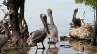 Pelicans video