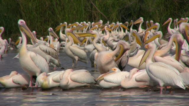 pelicans_Pelikan2 video