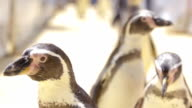 Penguin In The Open Zoo video