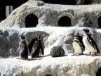 Penguins (PAL) video