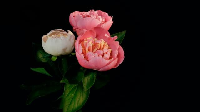 Peony Flowering Timelapse video