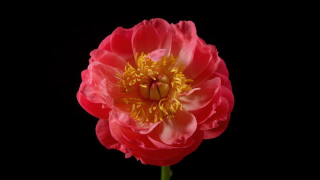 Peony Time Lapse video