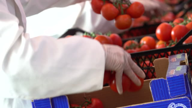 People are working in the tomato production factory video