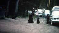 (8mm Vintage) 1968 People Feeding Bears Roadside in Yellowstone Park video