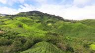 People harvest green tea bush video