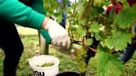 People harvesting grapes video