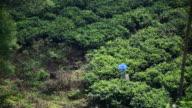 People harvesting green tea in Indonesia video