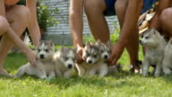 People holds a husky puppies and then they run away on a grass video