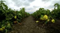 Pepper Plantation video