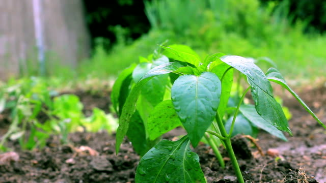 pepper seedlings video