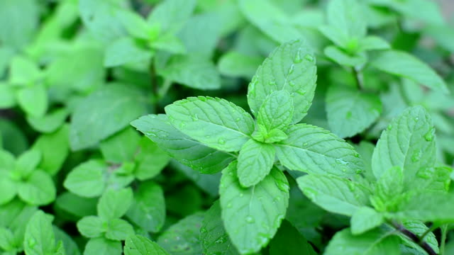 peppermint plants video
