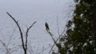 Peregrine Over Lake Superior video