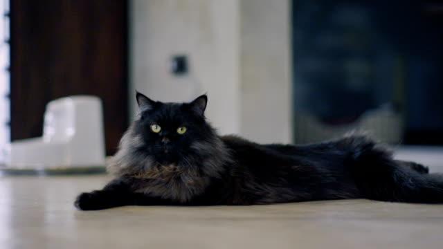 Persian Black Cat video