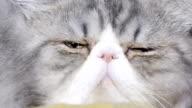 Persian cat face closeup video