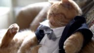 Persian cat in the suit with bow tie and jacket sits on sofa like a boss. video