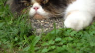 Persian cat laying on grass turf, dolly shot 4k video