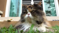 Persian cat laying on grass turf video
