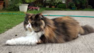 Persian Cat video