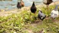 MEDIUM SHOT PANNING Person feeding birds by lake video