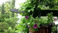 Pertunias in Hanging Basket and Wisteria on Rainy Day video