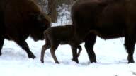 Pet of Bison video