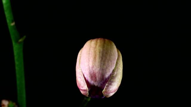 Phanaelopsis orchid Blooming video