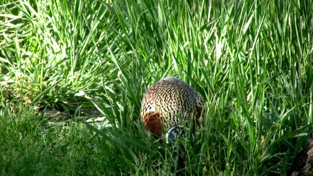 pheasant in tall green grass video