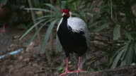 Pheasant video