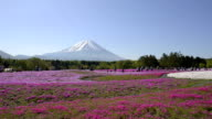 Phlox and Mt.Fuji,in Yamanashi,Japan video