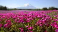 Phlox and Mt.Fuji,in Yamanashi,Japan video