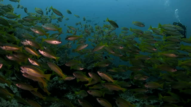 Photographer takes photo of a school of snappers video