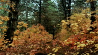 A photographer walking in autumn forest video