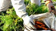 Pickers carrots in a field video