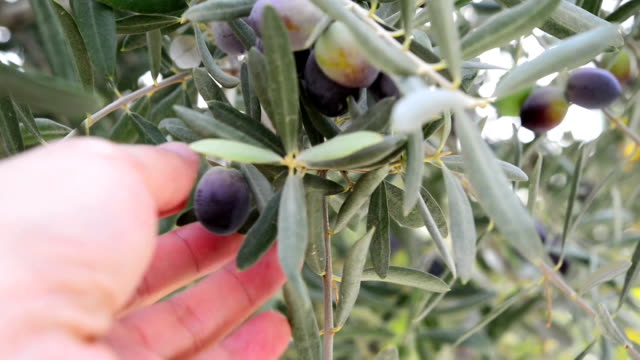 Picking an olive video