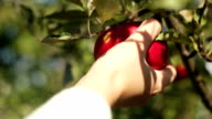 Picking apple from tree video