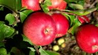 Picking apple video