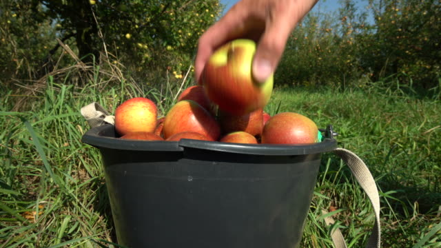 Picking Apples. Red Apples in a Bucket video